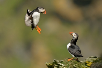 baby puffins